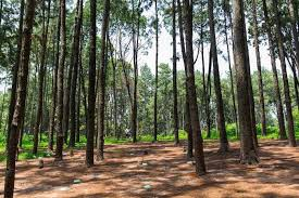 NGWO pine Forest2